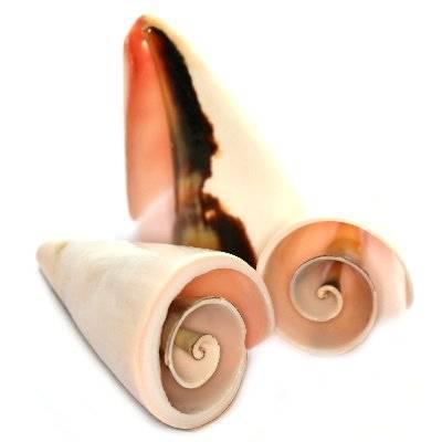 coquilles spirales coupées 3-5 cm