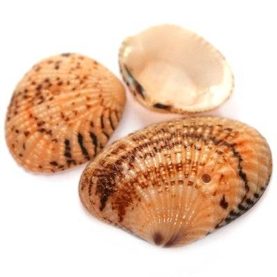 muszle morelowe 2.5-4 cm